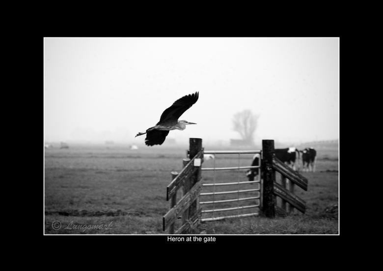 Heron at the gate - Een reiger vliegt laag over het land.