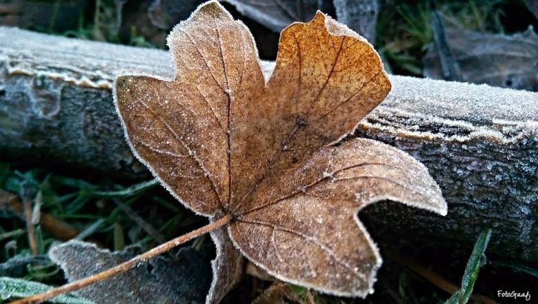And....freeze - Mijn oog viel bij het wandelen op dit blad... door de vrieskou krom getrokken en met wat rijp aangezet... een mooi herfsttafereeltje i