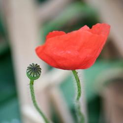 klap....roos
