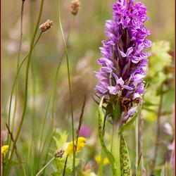 bloemenweide met Orchis