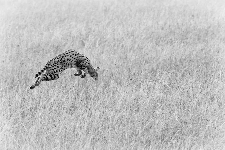 Jagende serval z/w - Dezelfde foto van de jagende serval nu in zwart-wit. Zelf houd ik hier van. Kleur geeft natuurlijk beter de werkelijkheid weer, m