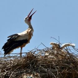 Ooievaar op het Nest