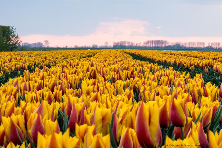 Tulpen geel -