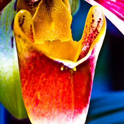 Grote orchidee