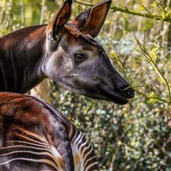love for the okapi