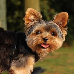 Portret van een kleine Yorkshire terrier.