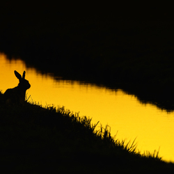 Hare in black