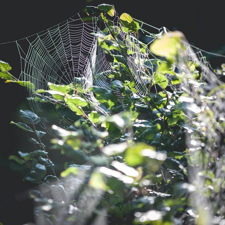 Spinnenweb - Spinnenweb