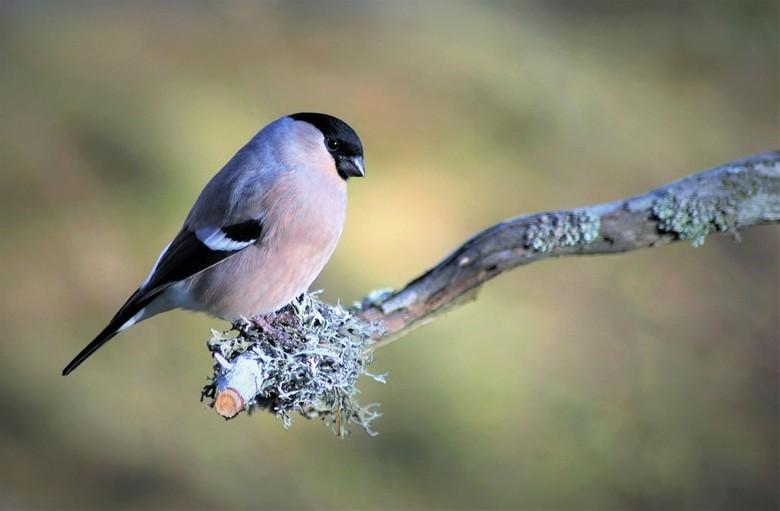 Goudvink - ik had laatst het mannetje  op zoom gezet en nu het vrouwtje.<br /> prachtige vogeltjes die er nu op dit moment zijn zie ze bijna iedere d