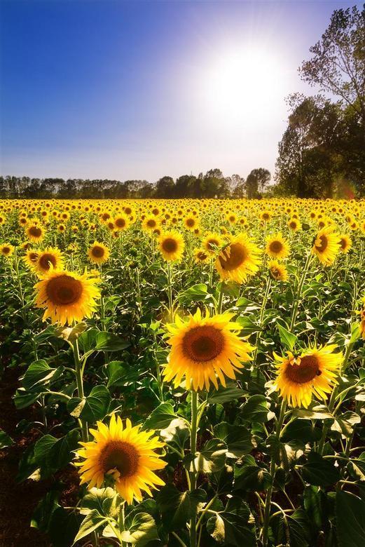 """Blommetje - Een bloemetje voor de nieuwe site? Ik wilde het iig even testen, dus bij deze <img  src=""""/images/smileys/wilt.png""""/><br /> <br /> De zon"""