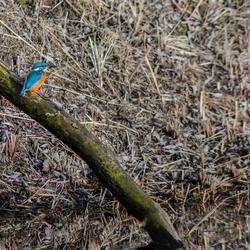 Ijsvogel in Oud-Zevenaar