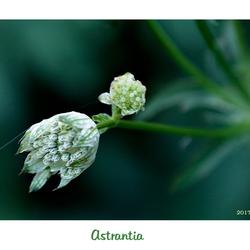 Astrantia