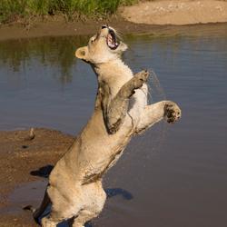 Waterpret met een leeuw