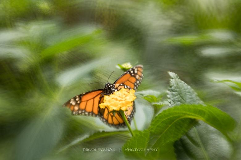 Monarchvlinder. - De Monarch vlinder in Vlinders aan de Vliet.<br /> <br /> Foto gemaakt met de Lensbaby composer pro, double glas optic en creative