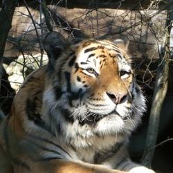 Dromerige tijger