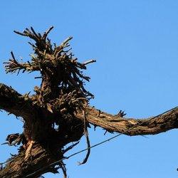60 jaar oude wijnstok