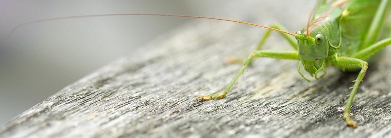 Where did you come from? - Een prachtige groene sabelsprinkhaan (ik heb het opgezocht) sprong hier vanmiddag rond, Toen hij even stilzat, nam ik deze
