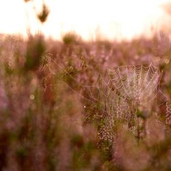 Spinnenweb tussen de bloeiende Heide