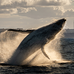 Humpback playing outside Sydney harbour