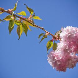 Bloesem van Prunus