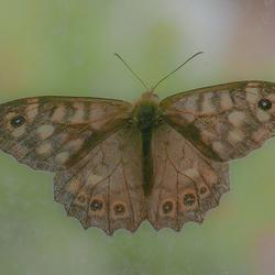 Vlinder op raam