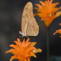Dryas Iulia (Oranje Passiebloemvlinder)