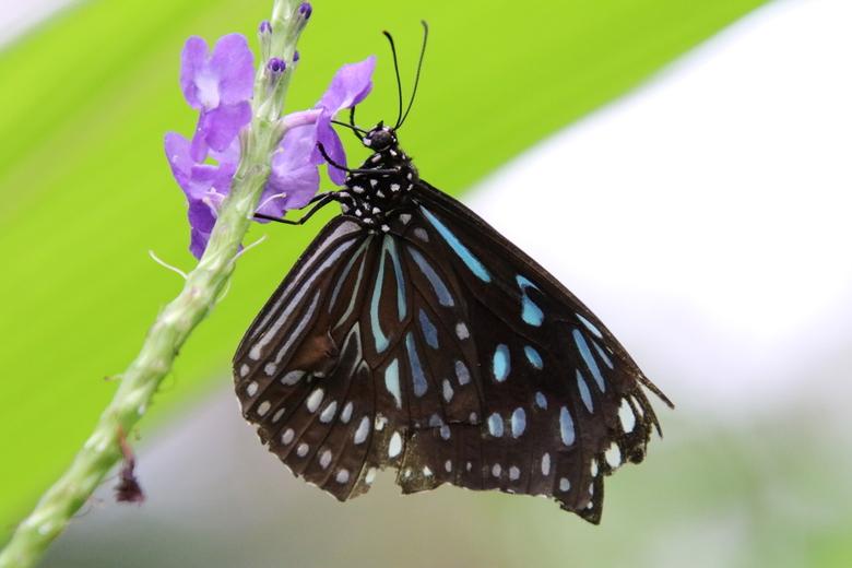 Tirumala septentrionis - Deze tropische vlinder heb ik mogen fotograferen in een vlindertuin. Kan ik echt uren zoet zijn!