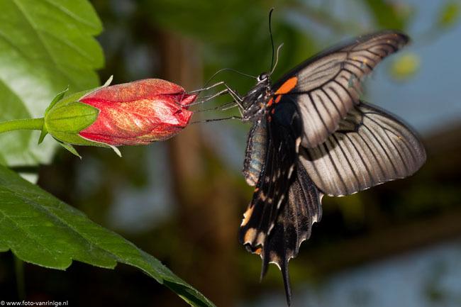 delicaat... - De vleugeltjes zijn jammer genoeg niet helemaal scherp geworden.<br /> Door het flitsen is het niet te doen om de sluitertijd omhoog te