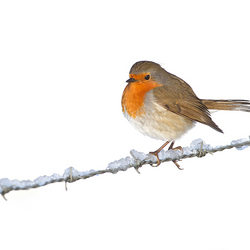 Robin on a wire!