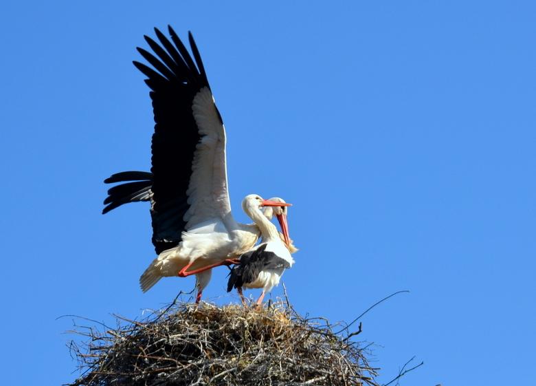 voorjaarsliefde - Twee ooievaarstwee ooievaars op hun nest,  verklaren elkaar hun &quot;liefde&quot; met spectaculair snavelgeklepper. <br /> De teru
