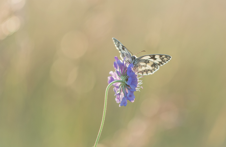Open wings..... - Veel foto's van dambordjes zijn van zijkant met gesloten vleugels. Dan maar een keertje de uitdaging aangaan voor een frontaal
