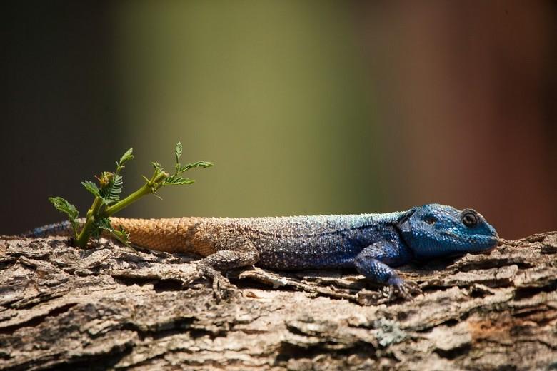 In Kololo, Zuid-Afrika - kwam deze hagedisachtige tegen op een boom, hij bleef mooi stil zitten