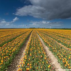 Flevoland Tulpen