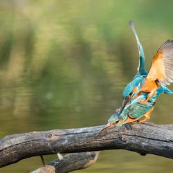 Parende Ijsvogels