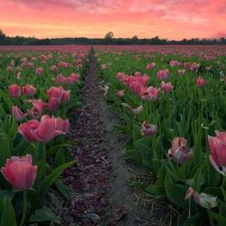 Pinky Tulips 2