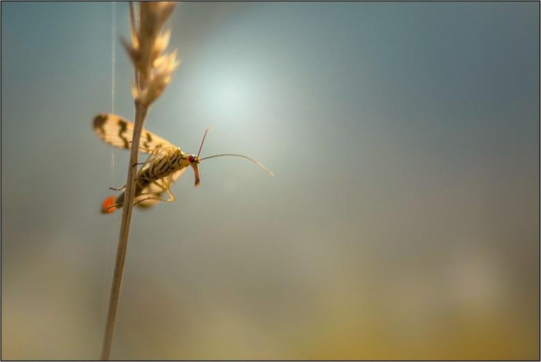 """Gewone Schorpioenvlieg - Tja de naam zegt het al, gewoon een schorpioenvliegje uit de tijd dat de dagen warm en aangenaam waren <img  src=""""/images/smi"""