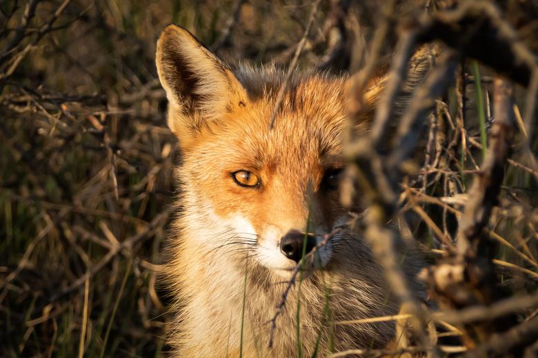 20200509_AWD_6324 - Moeder vos gemaakt in de Amsterdamse Waterleidingduinen