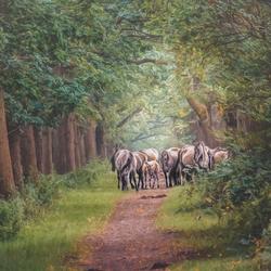konikpaarden in het bos