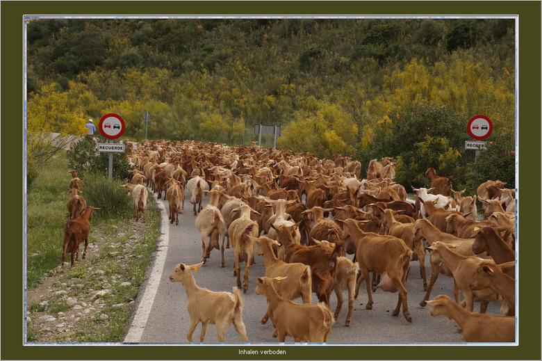 Inhaal verbod - Ondanks de borden met daaronder een bord herhaling om niet in te halen, gaan de geiten rustig hun gang. Het zijn net mensen, die trekk