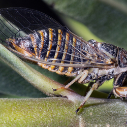 Kleine zangcicade
