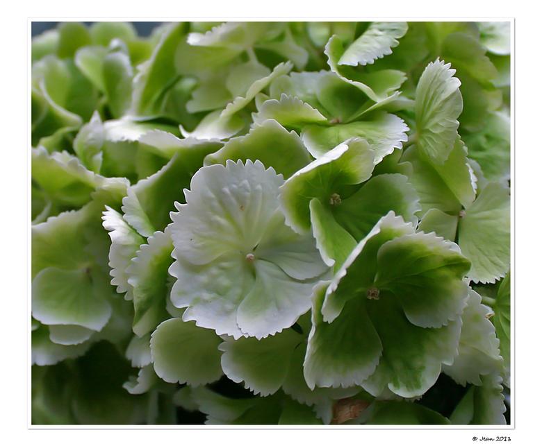 """Hortensia - Spierwit gekocht, maar inmiddels wordt de hortensia groener <img  src=""""/images/smileys/smile.png""""/>"""