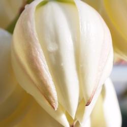 Bloem van de Yucca Gloriosa