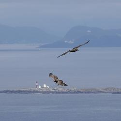 Zeearenden in het Noorse Landschap