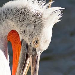 pelikanenkop