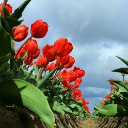 hoge tulpen