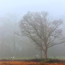 DSC_6615  Koeien in de mist.