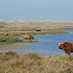 Texel Schotse hooglanders in natuurgebied het grote vlak I