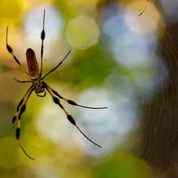 Gouden Zijde Spin