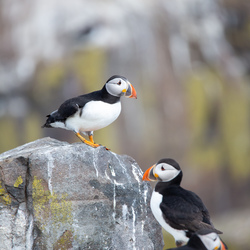 Papegaaiduiker kolonie op Farne Islands