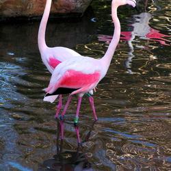 Flamingo's in Blijdorp